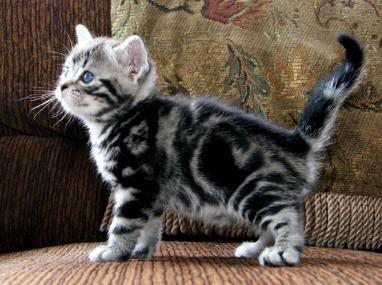 Classic Silver Tabby American Shorthair Kitten 可愛い猫 猫 写真 可愛い