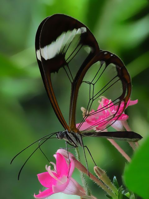 See-through butterfly?