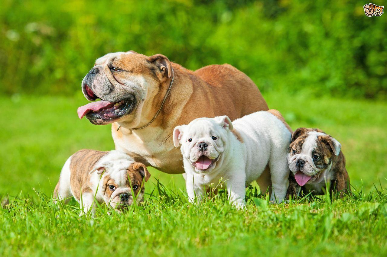 A family full of bulldogs bulldog puppies cute dog