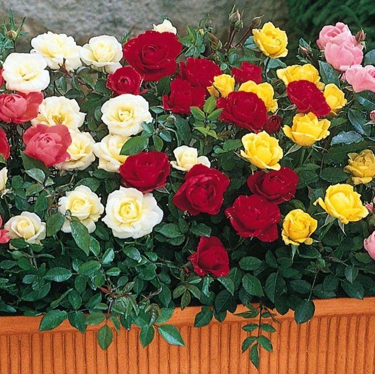 Jardín de rosas en miniatura https://es.wikipedia.org/wiki/Miniatura ...