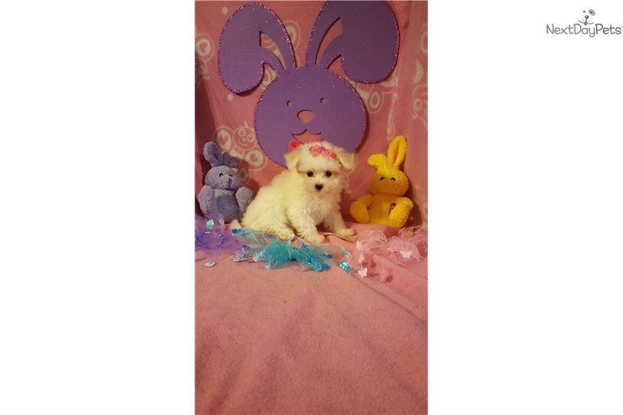 Maltese Puppy For Sale Near Cincinnati Ohio 230ae029 A871 Maltese Puppy Puppies Puppies For Sale