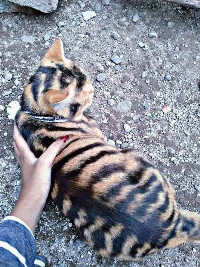 สาวเจอแมวลายเหม อนเส อโคร ง คล ายแมวพรรณพย คฆ แถมเป นสามส ต วผ อ กด วย Dog Vs Cat แมวน อย