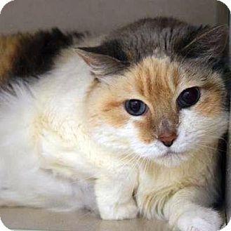 Denver Co Domestic Shorthair Meet Aurelia A Cat For Adoption