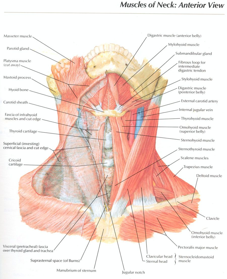 hight resolution of muscles of the anterior neck