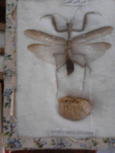 فرس النبي الكبير ذو البقعتين Insects Animals Moth