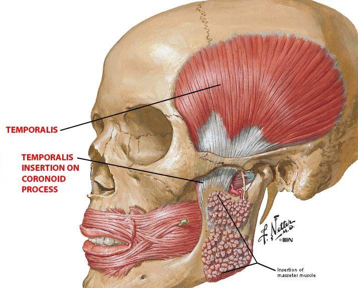 Oia Facial Muscles