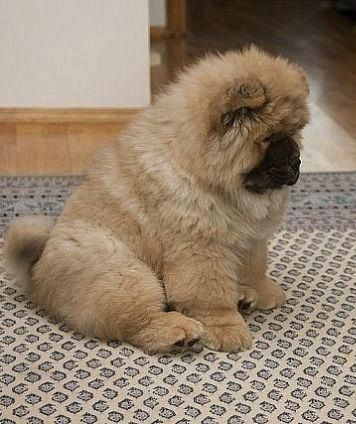 Cinnamon Chow Chow Fluffy Animals Chow Chow Dogs Cute Animals