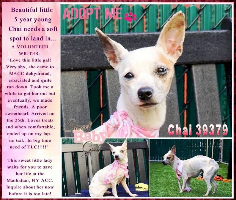 Beautiful little 5 year young Chai needs a soft spot to
