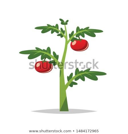 Cartoon Tomato Plant Vector Isolated Illustration Plant Vector Plants Plant Cartoon