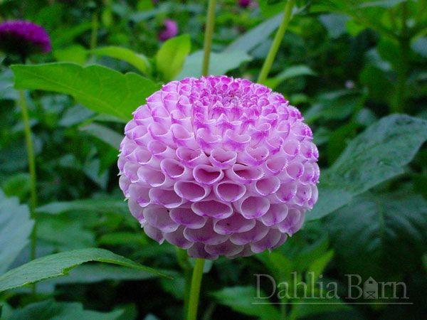 frank holmes | dahlia barn | fleurs | pinterest | dahlia, gardens