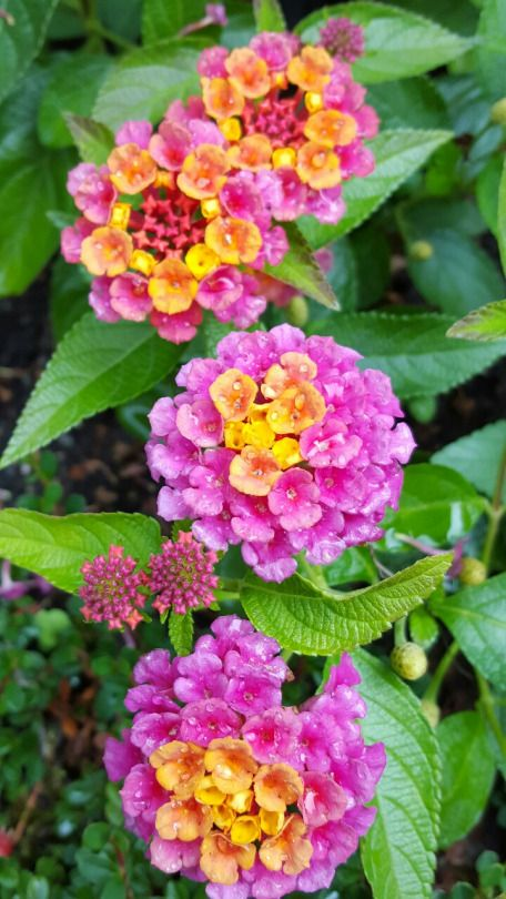 Outdoormagic Wonderful Flowers Lantana Flower Amazing Flowers