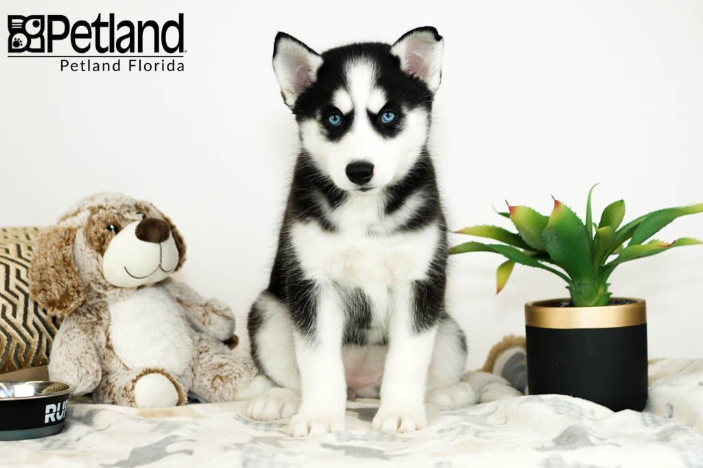 Petland Florida has Siberian Husky puppies for sale! Check