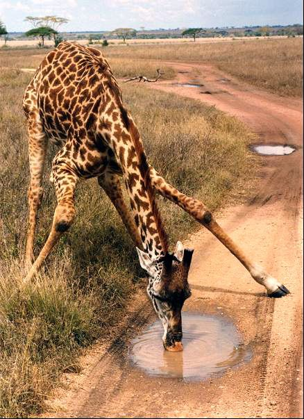 Photo of tall giraffe struggling to get his head down to drink from the tiny mud puddle in the dirt road of Arusha. Tanzania - truly belongs on DdO:) WATER OF LIFE Pinterest Board. http://www.pinterest.com/DianaDeeOsborne/water-of-life/