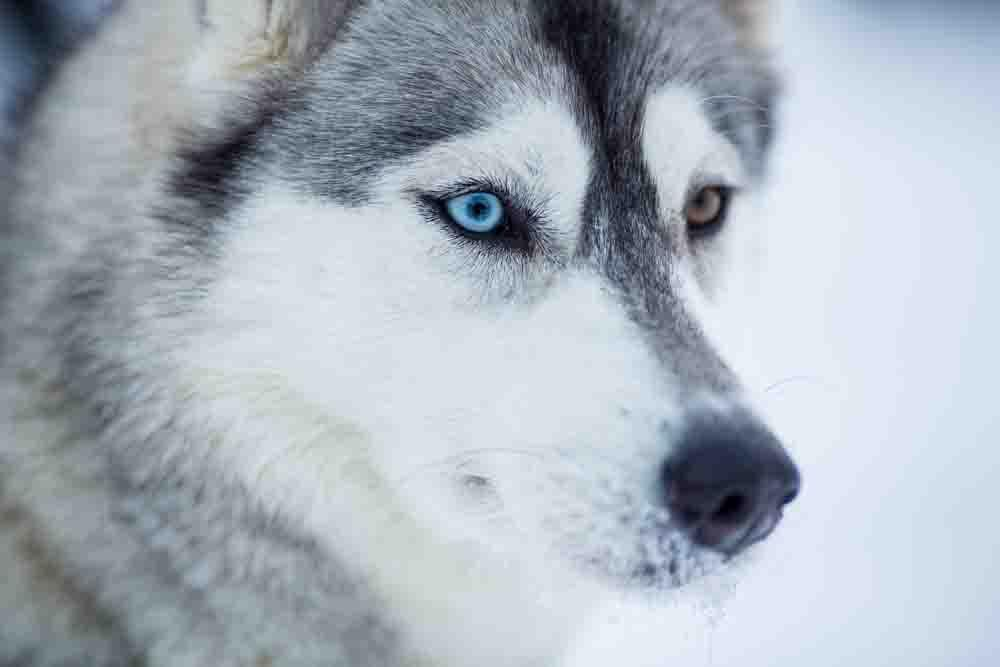 Siberian Husky Wallpaper Android Apps On Google Play Fluffy