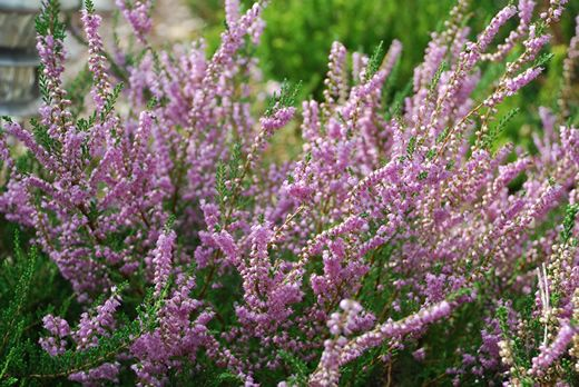 Heather Calluna Vulgaris Plants Heather Plant Full Shade Plants