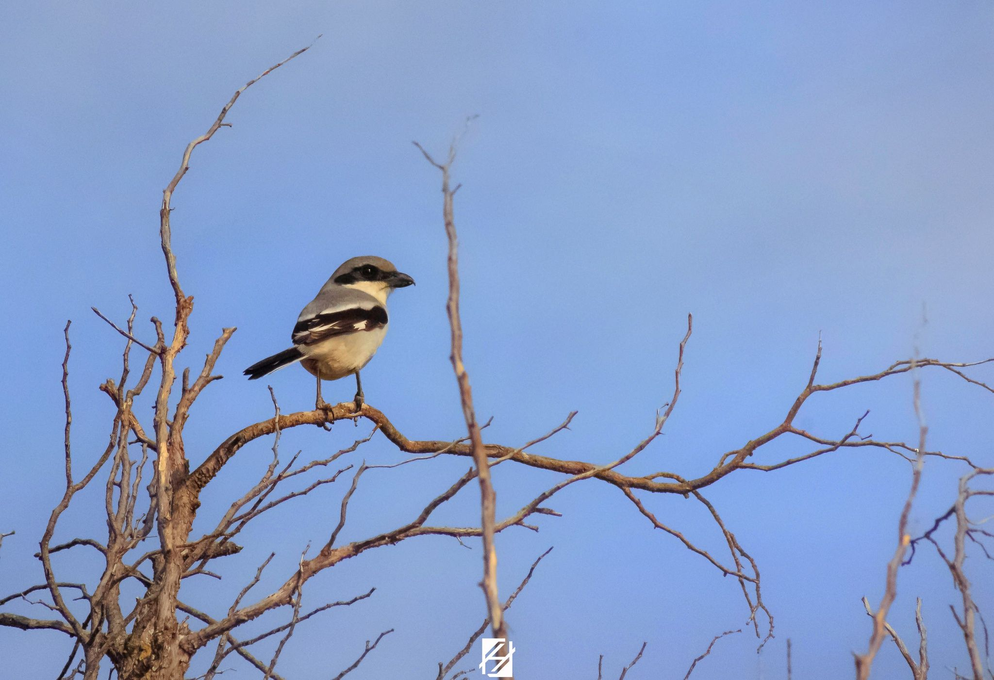 Algerian Shrike by Hichemou Photographer , Colorism And Designer on 500px