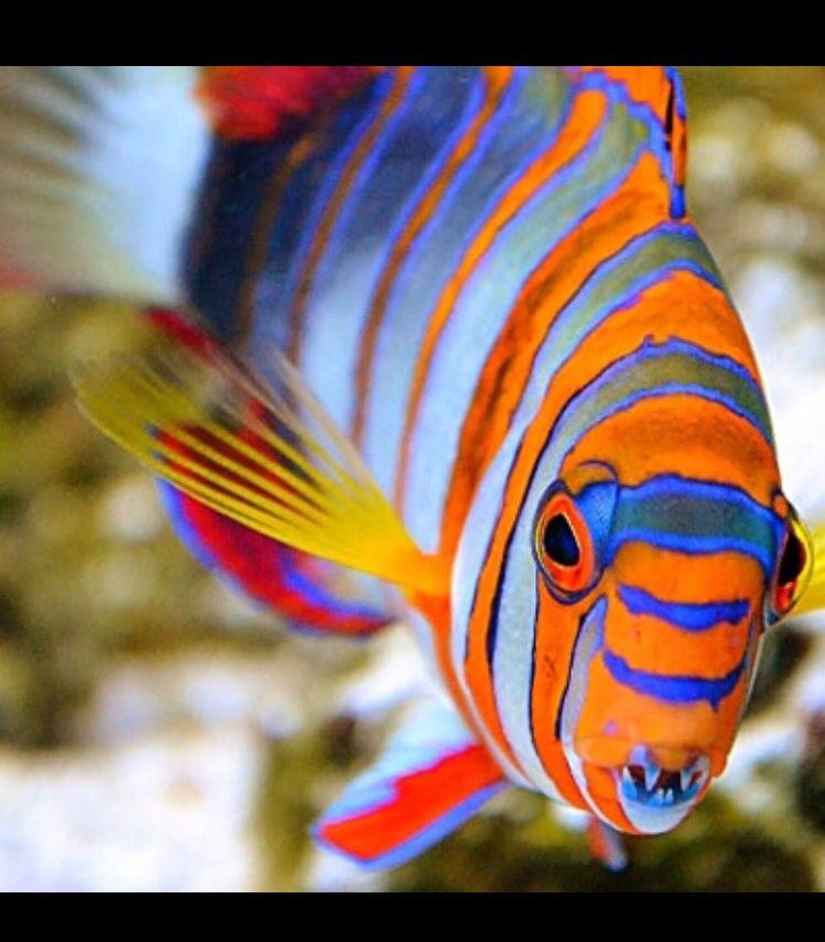 Harlequin Tusk Saltwater Fish Tanks Marine Fish Aquarium Accessories