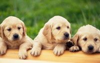 Labrador Puppies For Sale In Jaipur Filhotes De Cachorro