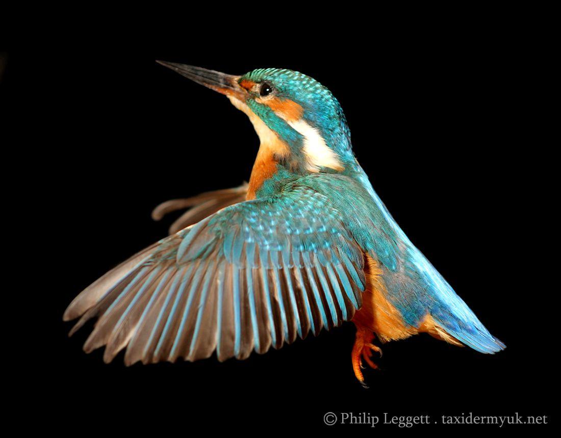 Image Result For Kingfisher Bird Vs Hummingbird Kingfisher Bird Kingfisher Bird