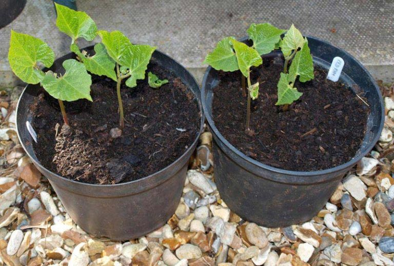 How To Grow French Beans From Seed Seeds Beans 640 x 480