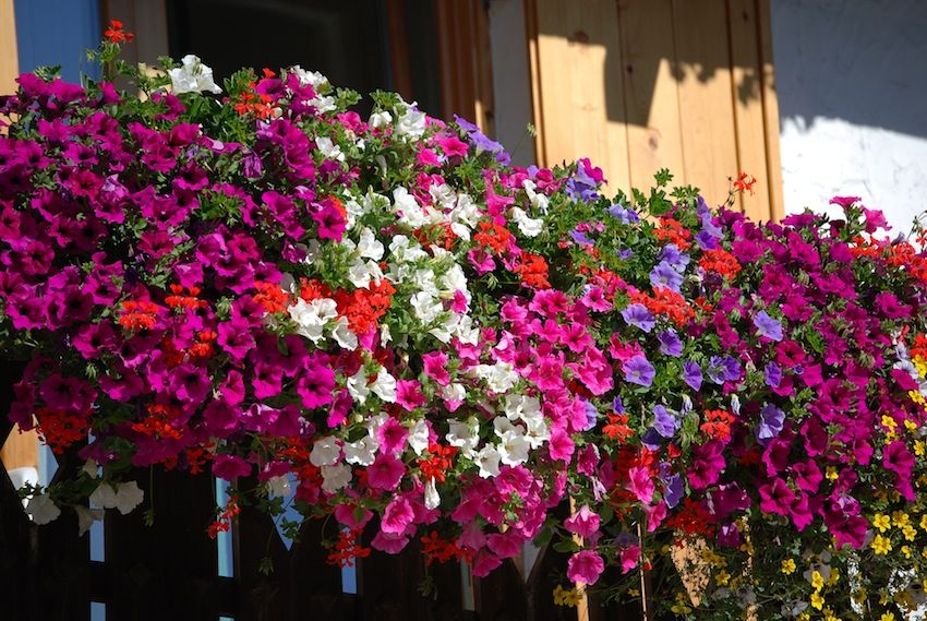 Le migliori piante e fiori da balcone | fotografia! | Pinterest ...