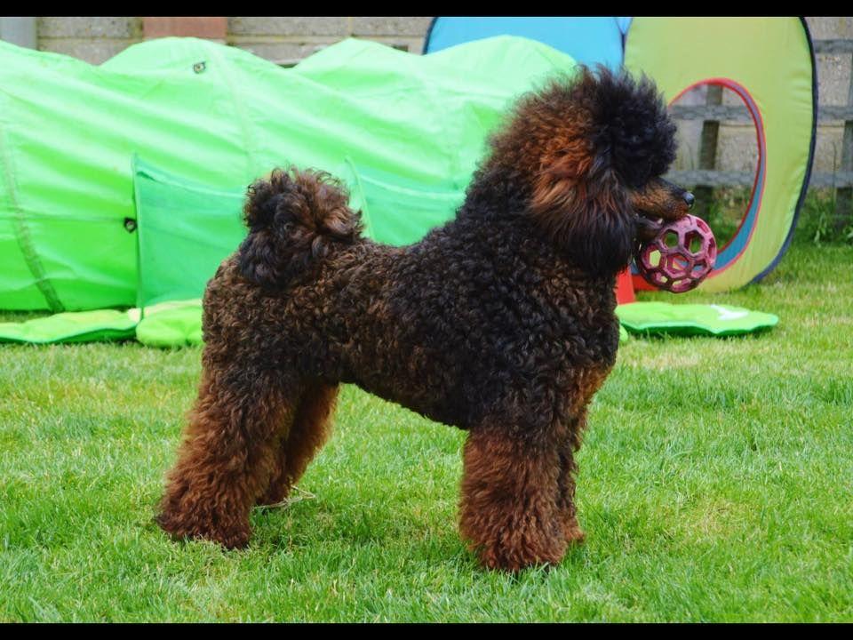 Agouti Poodle Mini Poodles Poodle Crazy Dog
