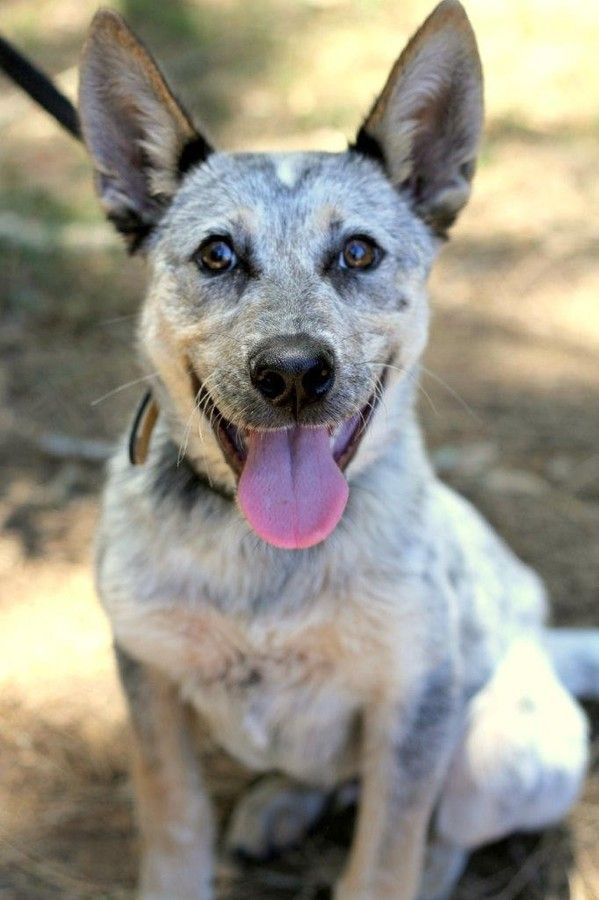 Drake Medium Male Australian Cattle Dog Mix In Nsw Cattle Dogs Mix Australian Cattle Dog Mix Austrailian Cattle Dog