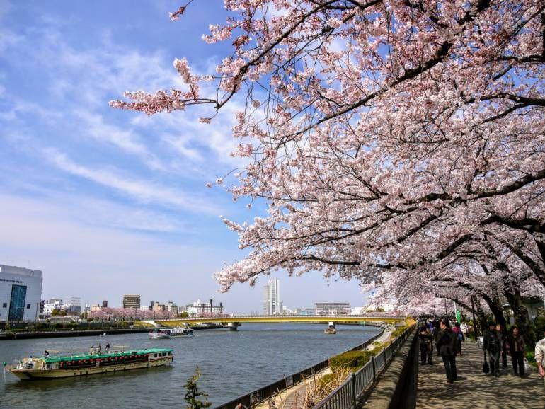 Sakura Japan Guide To Enjoy The Cherry Blossom Festival Spring 2021 In 2021 Cherry Blossom Festival Japan Cherry Blossom Festival Sakura Festival Japan