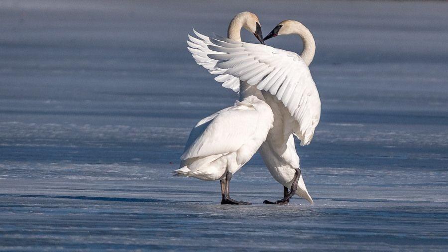 породы, фото лебедей целующихся том