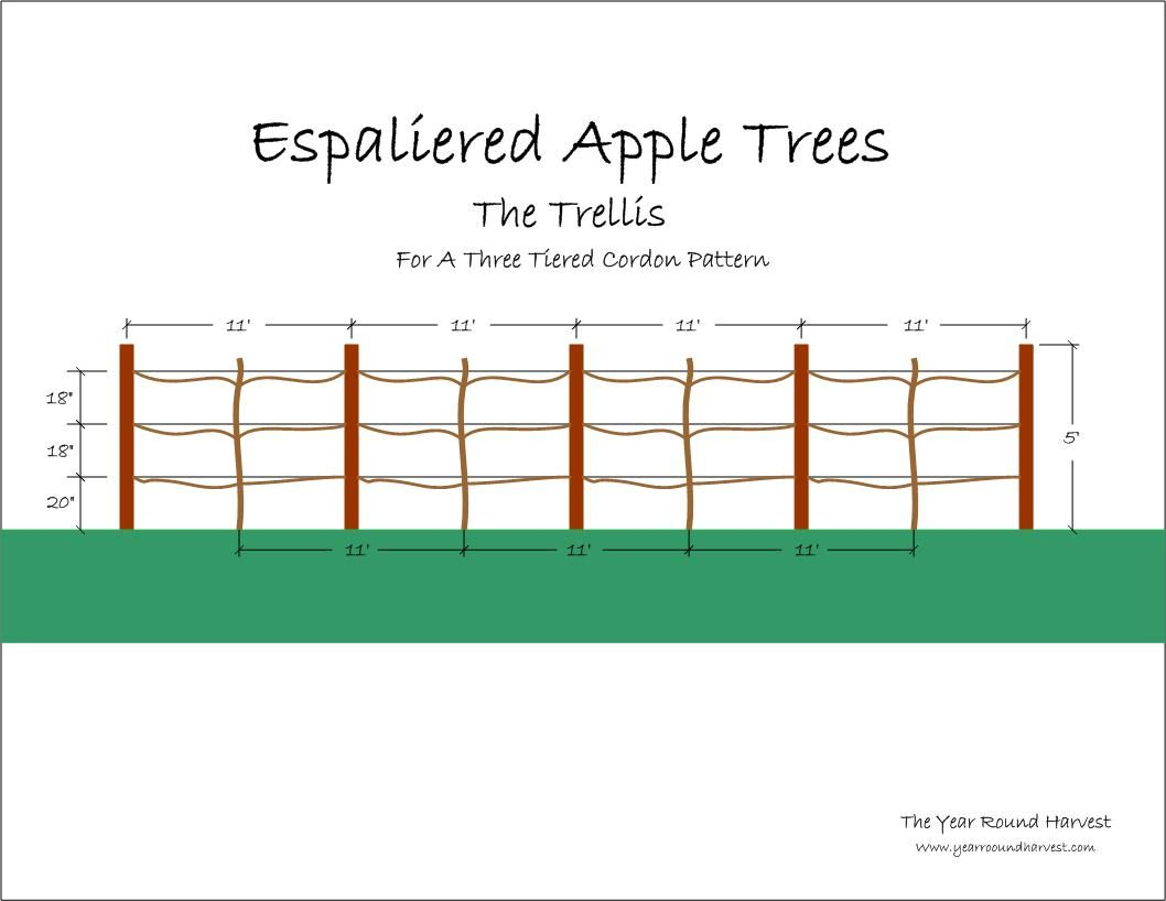 Diagram The Parts Of Cherry Blossom Tree 12v Relay Wiring 5 Pin Espaliered Apple Trees Part Ii Trellis Year Round
