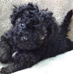 Adopt Shadow On Cute Animals Maltese Poodle Mix Fluffy Puppies