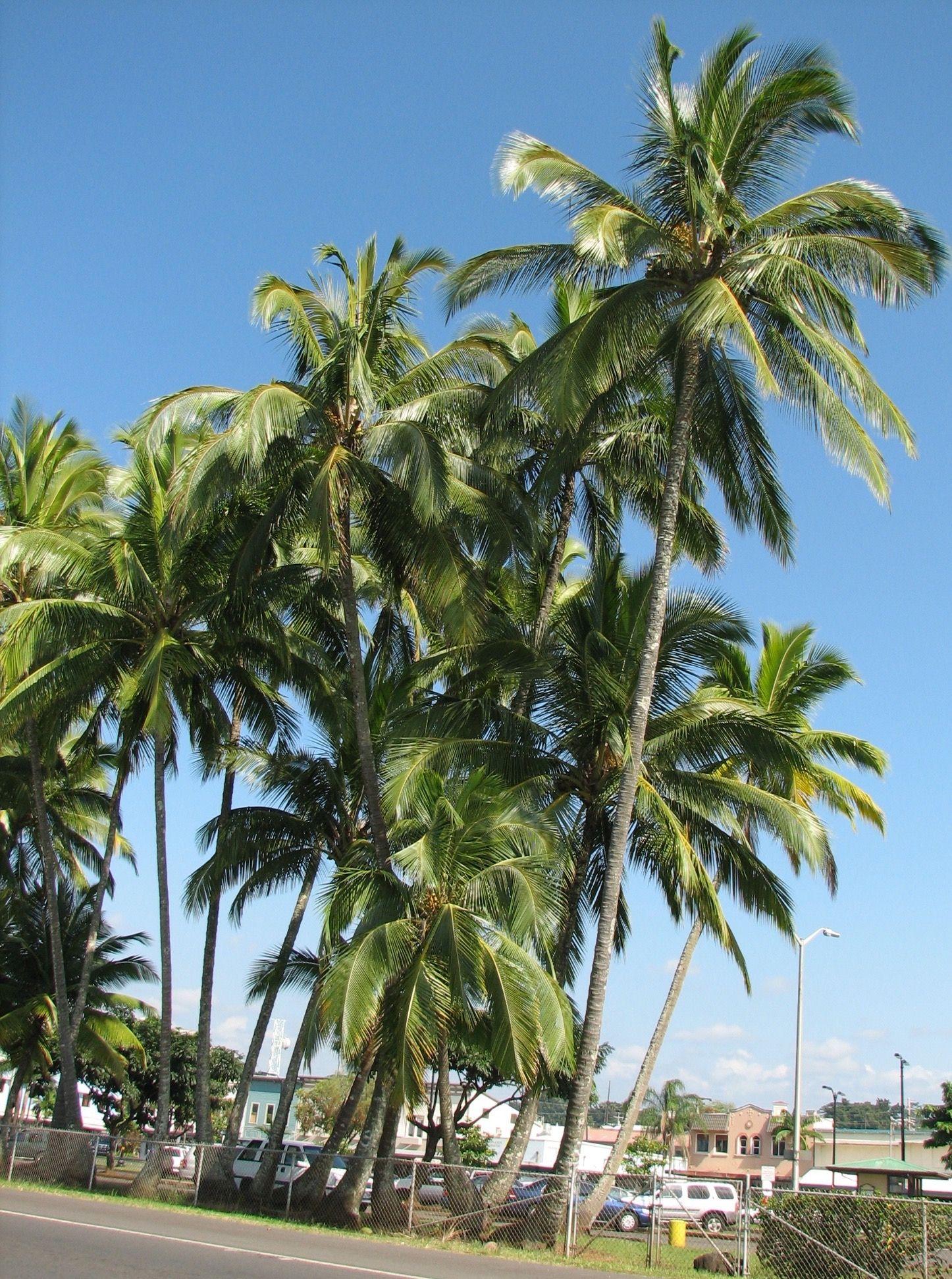 Cocos nucifera hawaii photo hawaii palm