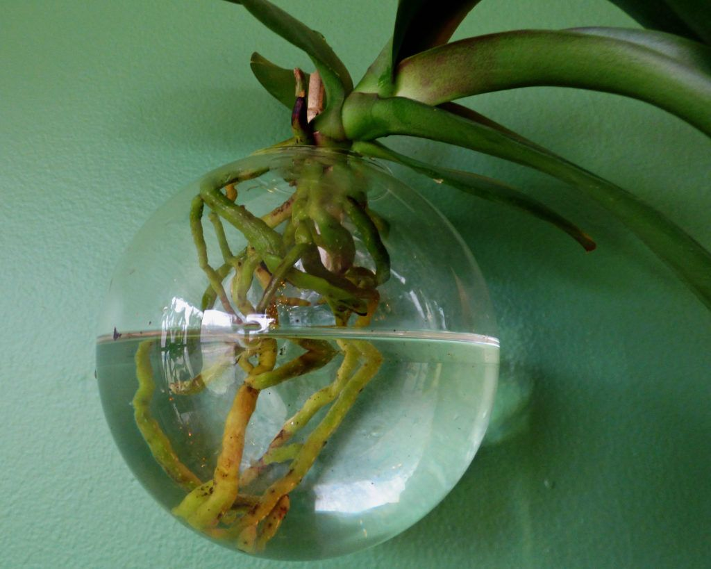 Growing Orchids In Water: Caring For Orchids Grown In Water Hydroponic orchid growing may prove the solution for an ailing orchid. The method is actually quite easy and fairly foolproof, requiring a few items and a little patience. Learn how to grow orchids in water with this quick tutorial. Orchids In Water: Caring For Orchids Grown In Water Hydroponic orchid growing may prove the solution for an ailing orchid. The method is actually quite easy and fairly foolproof, requiring a few items and a little patience. Learn how to grow orchids in water with this quick tutorial.Hydroponic orchid growing may prove the solution for an ailing...