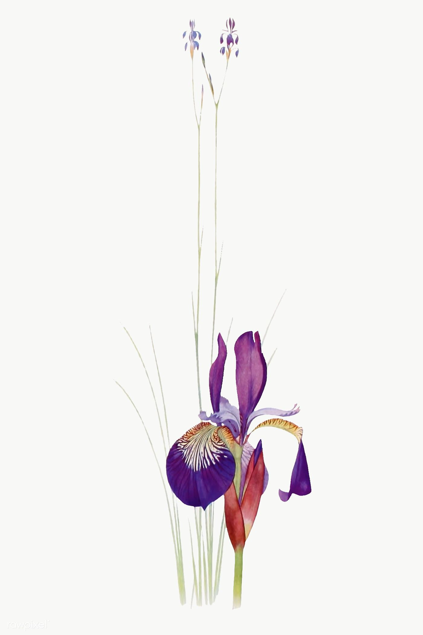 Vintage Iris Flower Illustration Transparent Png Premium Image By Rawpixel Com Flower Illustration Iris Flowers Flower Drawing