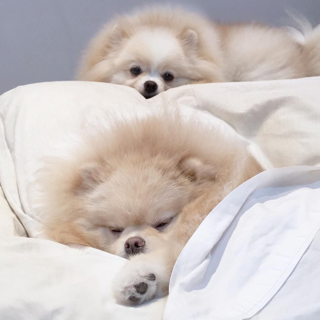Boanoite Angel Goodnight Lion Truelove Queridinhodamamae Babyboy Pomeranian Breed Beautiful Dogs Boo The Dog