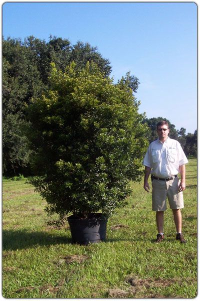 wax myrtle tree leaves