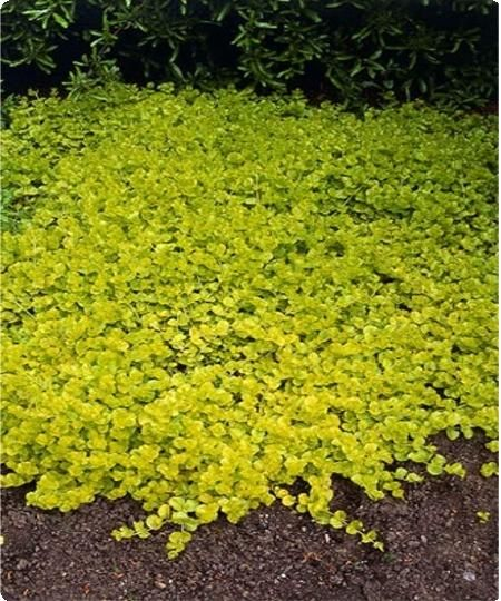 Evergreen ground cover plants images for Perennial ground cover plants for sun