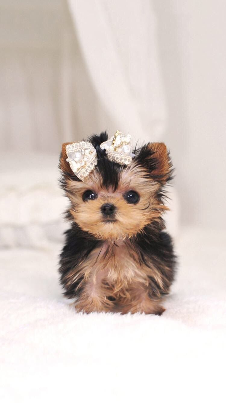 Iphone And Android Wallpapers Tiny Puppy Dog Wallpaper For Iphone And Android Cute Baby Dogs Cute Dogs Breeds Cute Dogs And Puppies