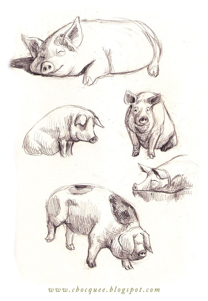Pencil drawing of pig google search