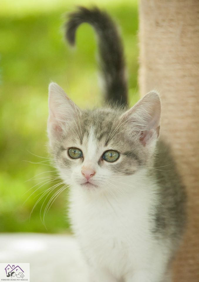 """Armani"" 7 weeks old Domestic Short Hair Female Available"