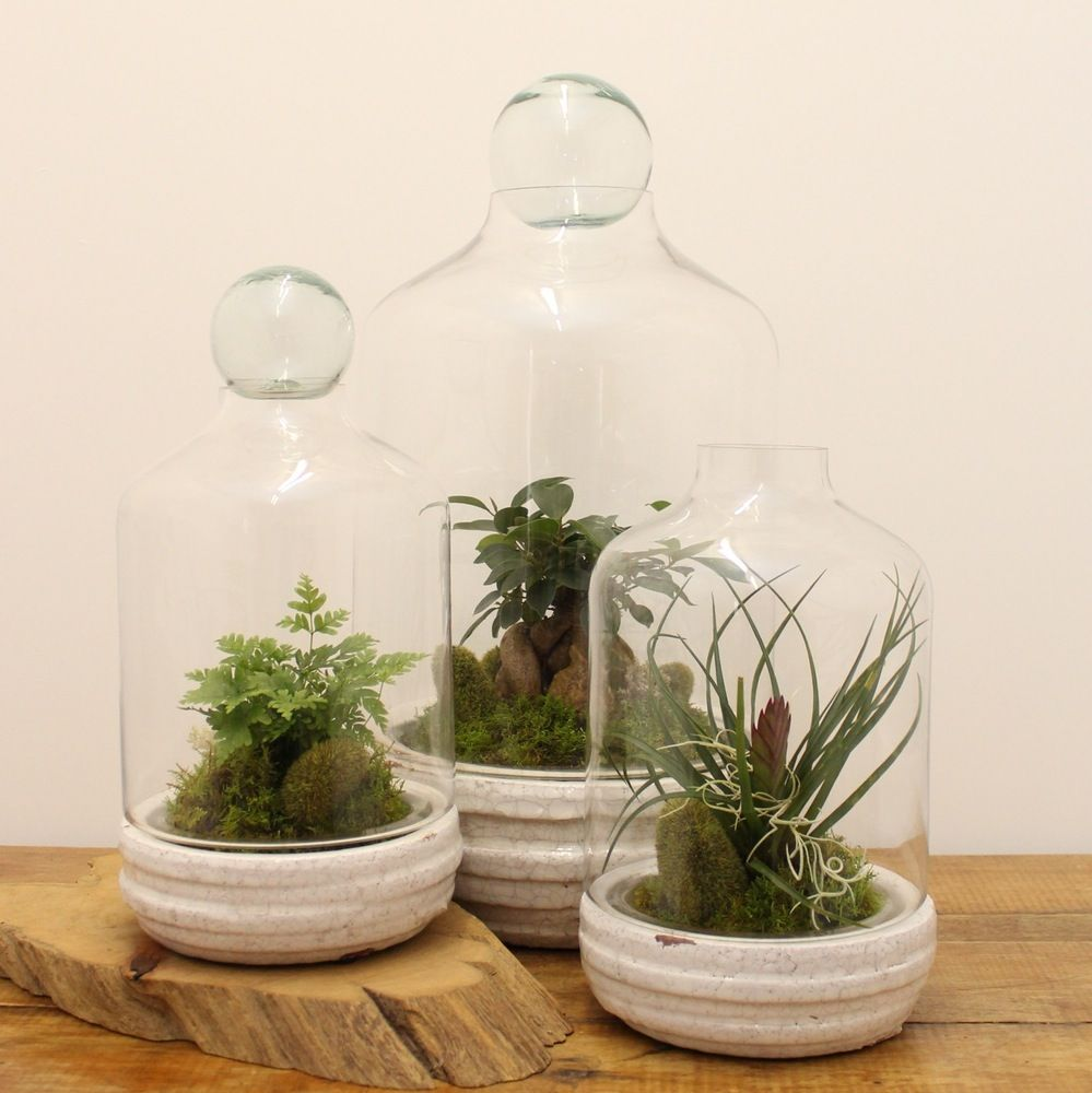 Large - Mini Fig and Selaginella with moss in a beautiful cream ceramic  based terrarium with