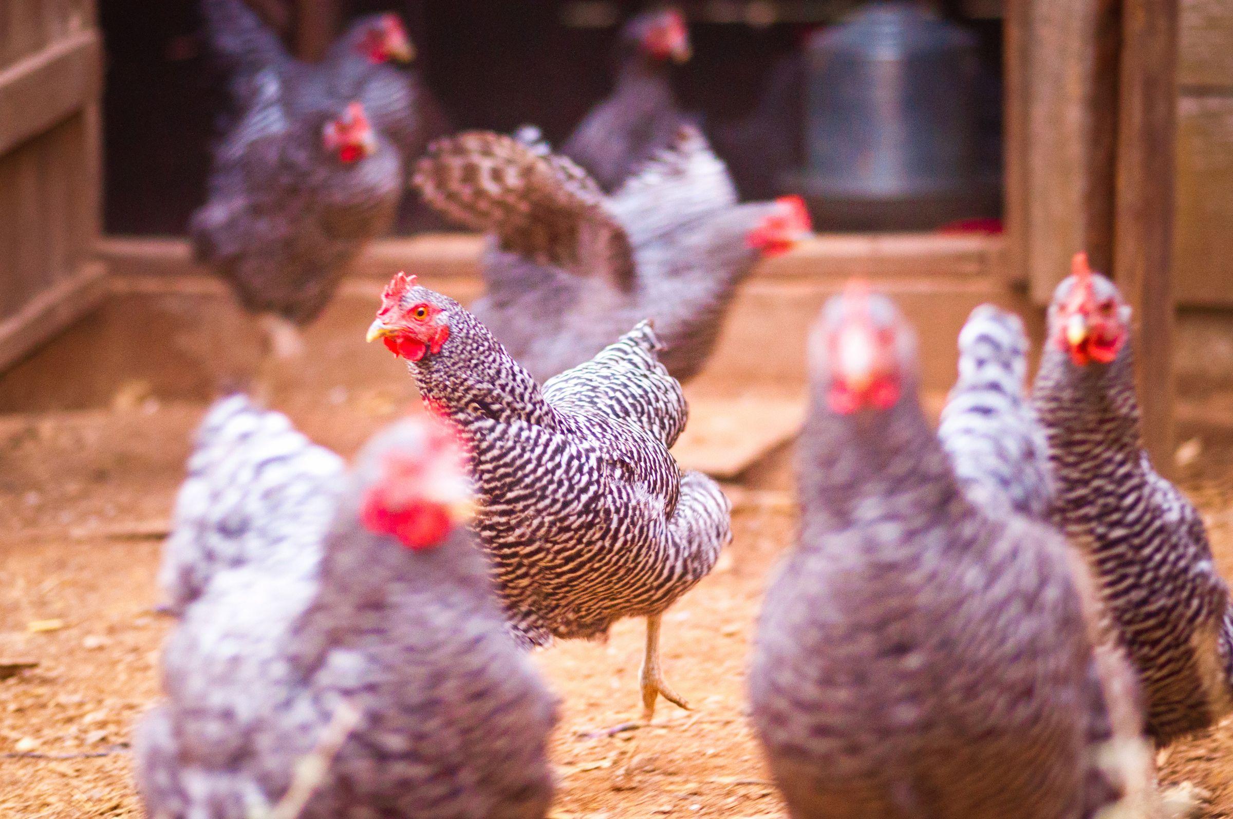 A Smart Chicken Coop