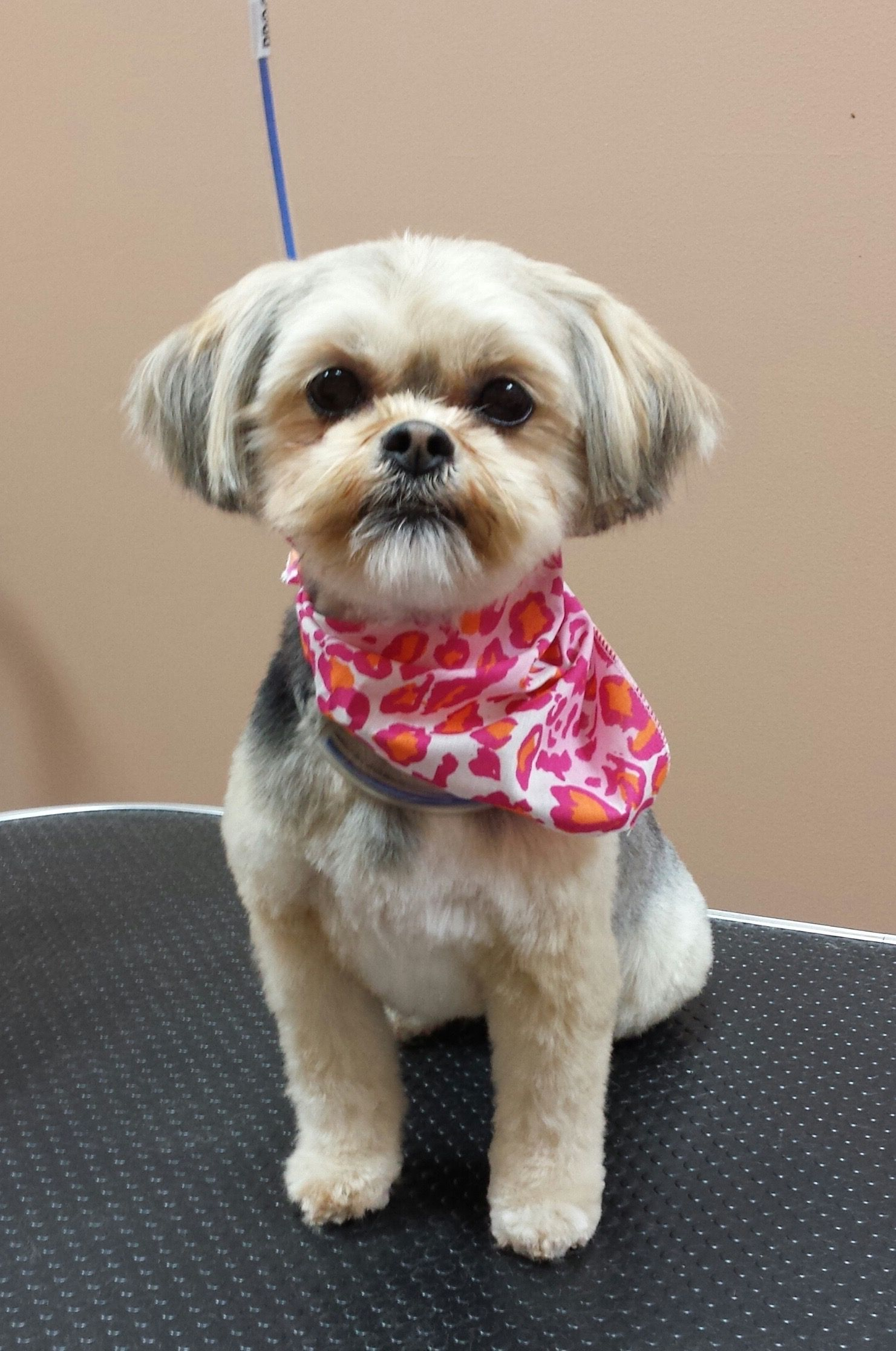 Shorkie groomed by Jacki Kruse Professional Pet Groomer