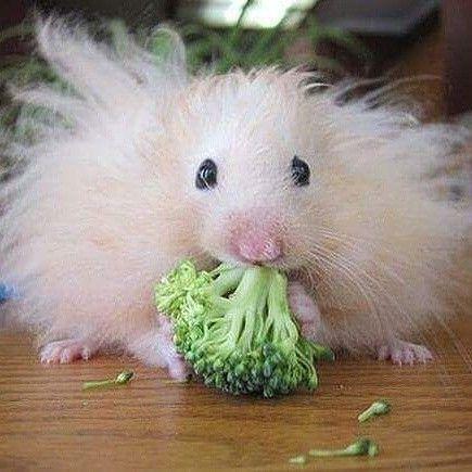 Pin Von Barbara Rathmanner Auf Hamster Susseste Haustiere Niedliche Tierbilder Lustige Bilder Von Tieren