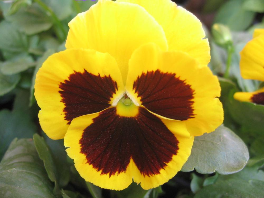 Pansy Flower Viola Tricolor Yellow Cultivar Pansies Flowers Yellow Flowers Names Yellow Flowers