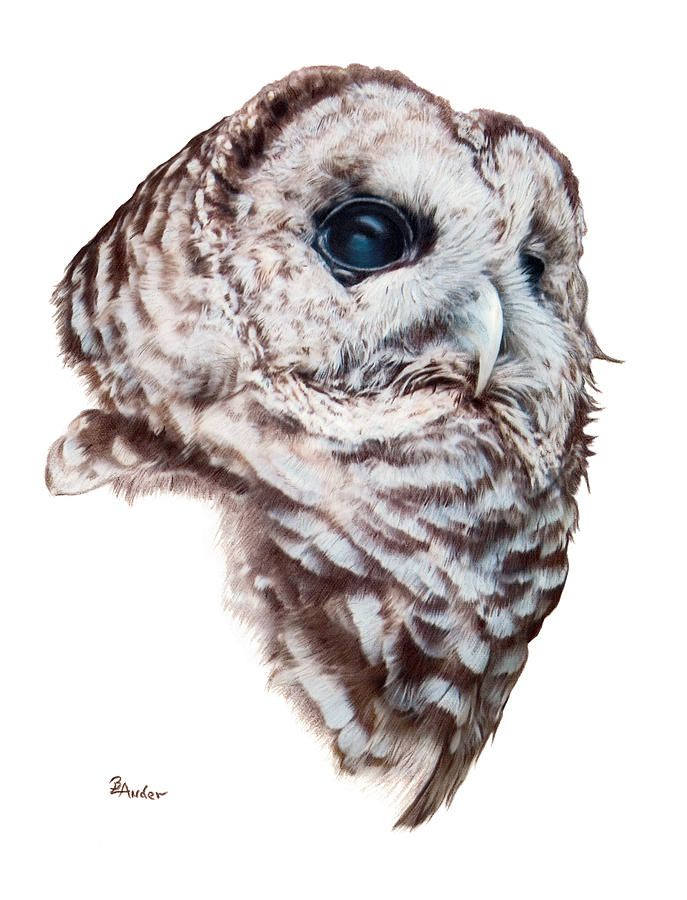 owl drawings barred owl drawing by brent ander barred owl fine art prints and