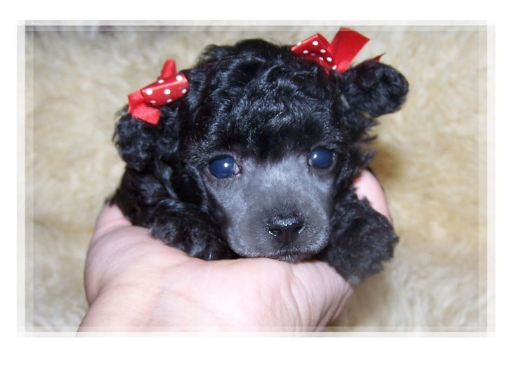 Red poodle puppies texas