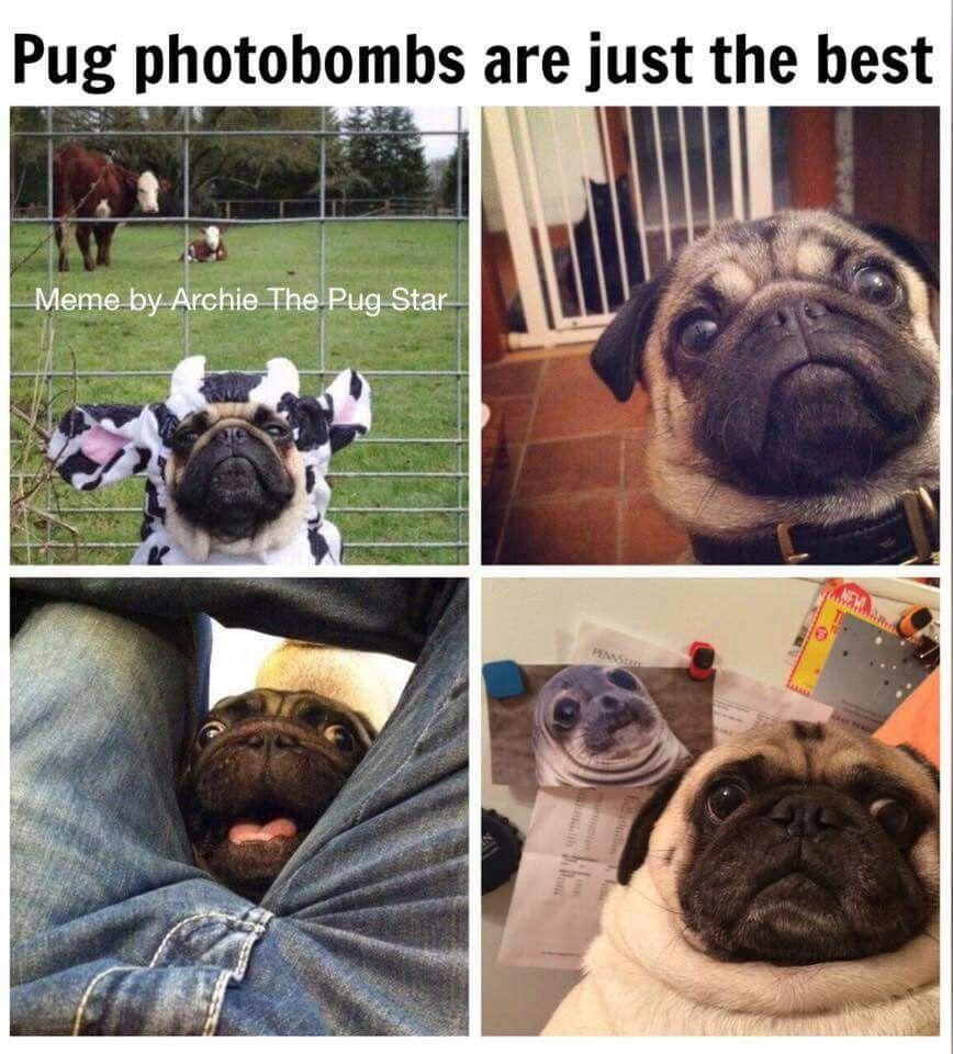 Pugs Dogs Retweet Pug Follow Like Puglife Dog Aww Funny