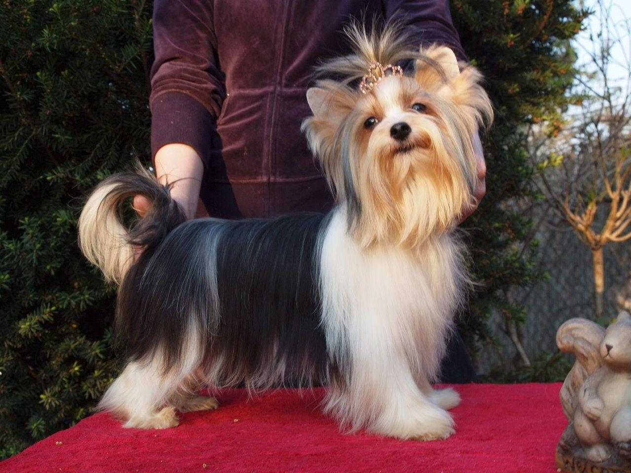 Yorkshire terrier name origin