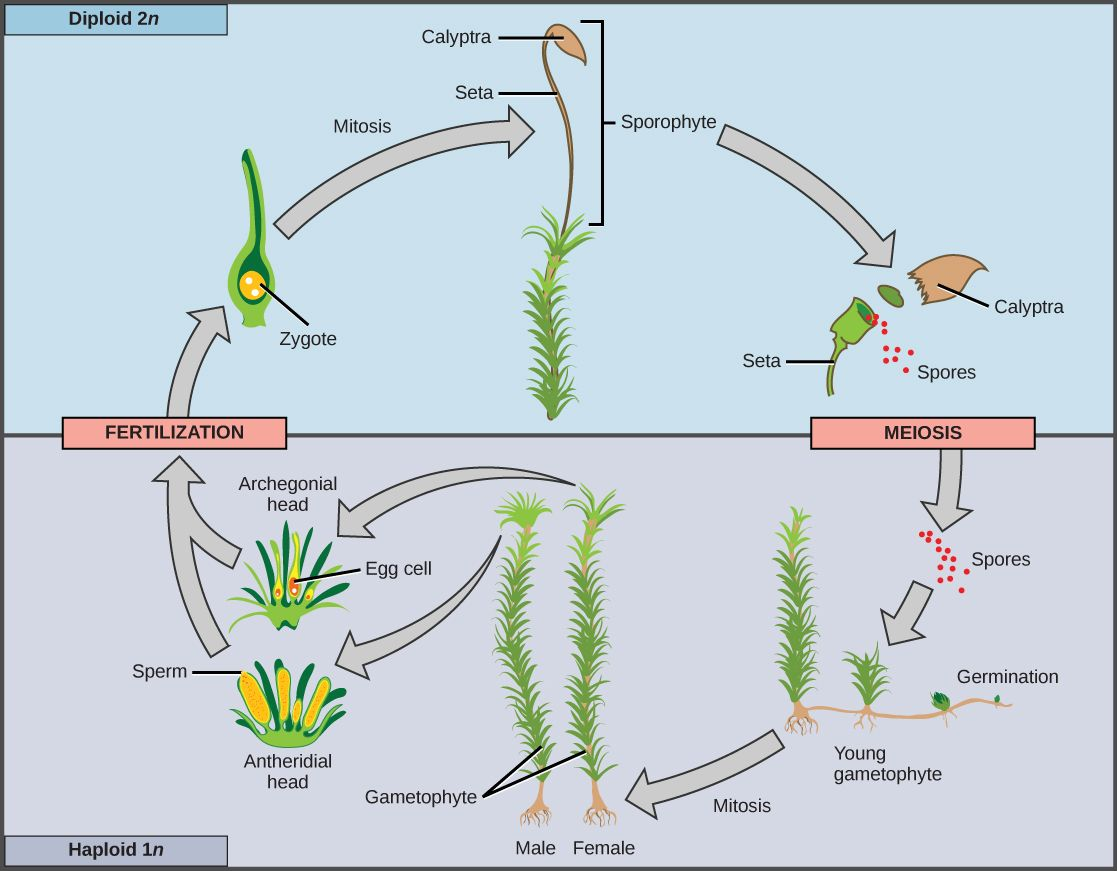 Sporogenous Tissue Undergoes Meiosis To Produce Haploid 1n Spores Which Germinate Into Young